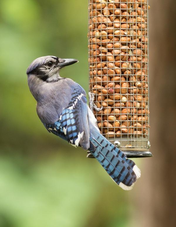 تحتوي هذه الصورة على سمة alt فارغة; اسم الملف هو Blue_jay_Cyanocitta_cristata_on_bird_feeder.jpg