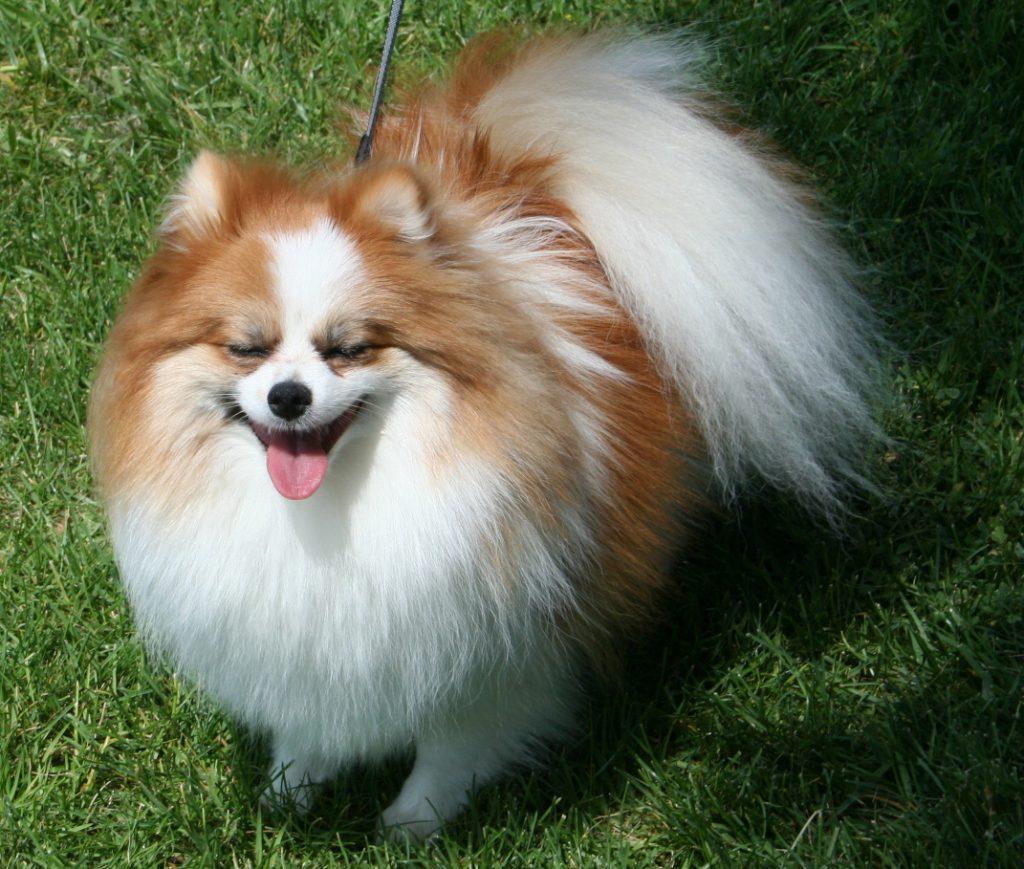 تحتوي هذه الصورة على سمة alt فارغة; اسم الملف هو كلب-بوميرينيان-1024x869.jpg