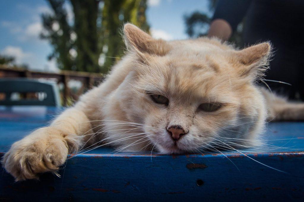 أعراض وعلاج أنفلونزا القطط