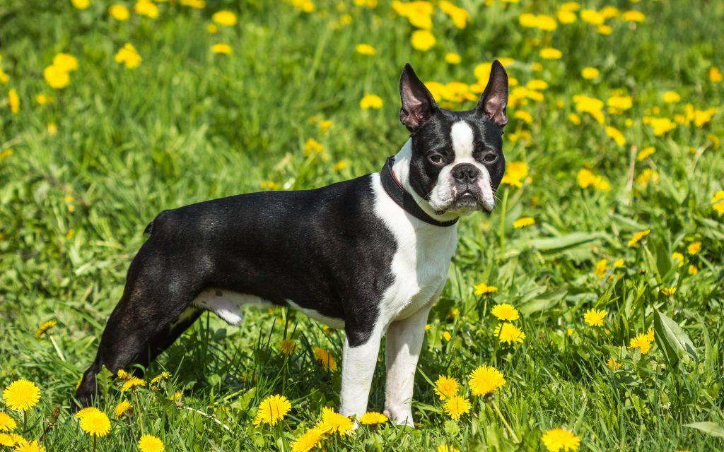 تحتوي هذه الصورة على سمة alt فارغة; اسم الملف هو boston-terrier-4k-black-white-dog-little-cute-dog-pets-1024x640.jpg