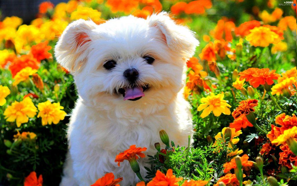 تحتوي هذه الصورة على سمة alt فارغة; اسم الملف هو maltese-dog-puppy-flowers-white-dog-cute-animals-1024x640.jpg