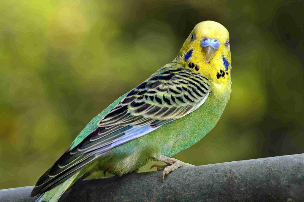 يسهل تربيتهم في المنزل أشهر 5 طيور صديقة للإنسان Pets Grow ما أنواع طيور صديقة للإنسان