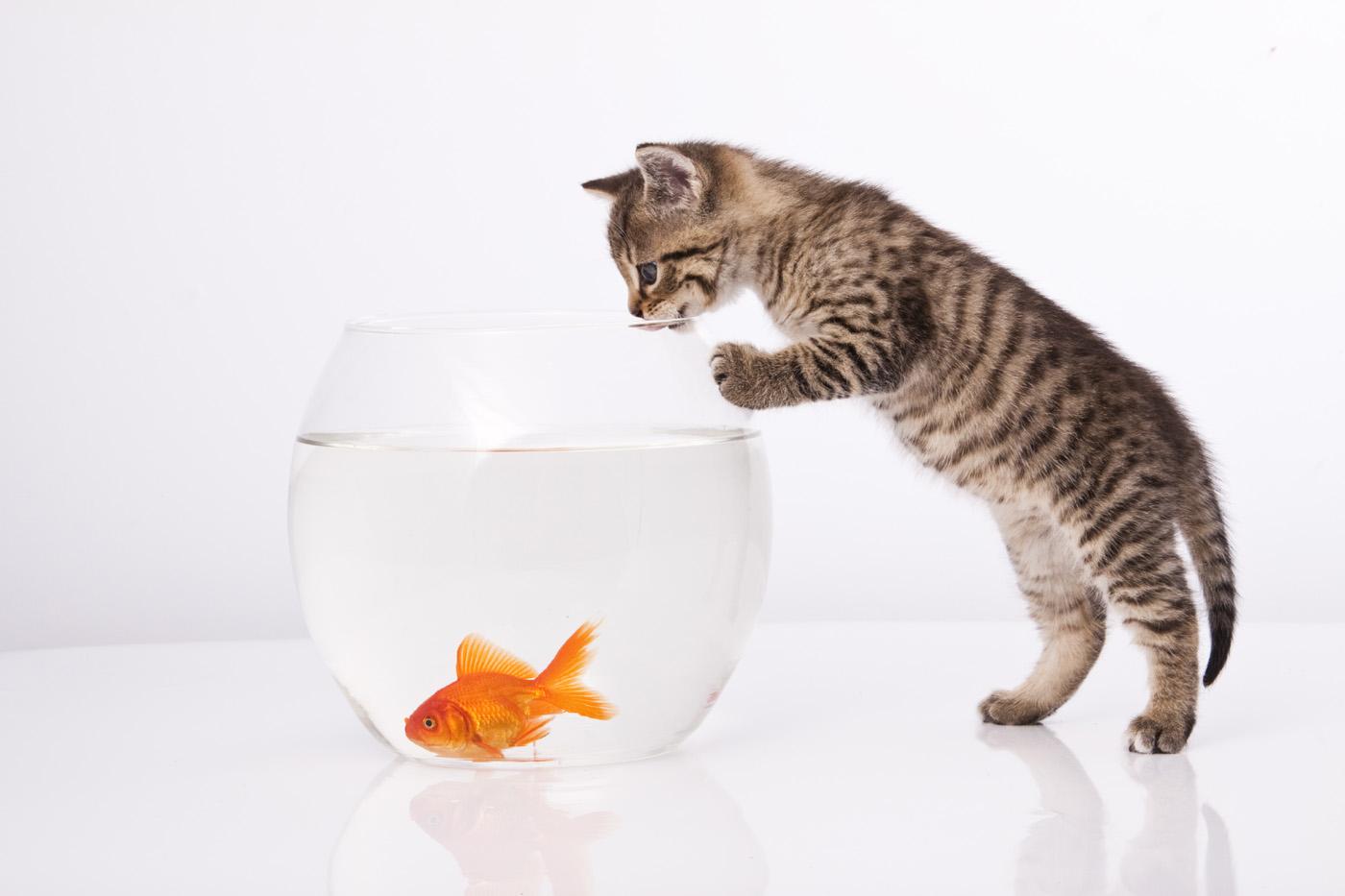متى يكون أكل السمك مضرًا للقطط