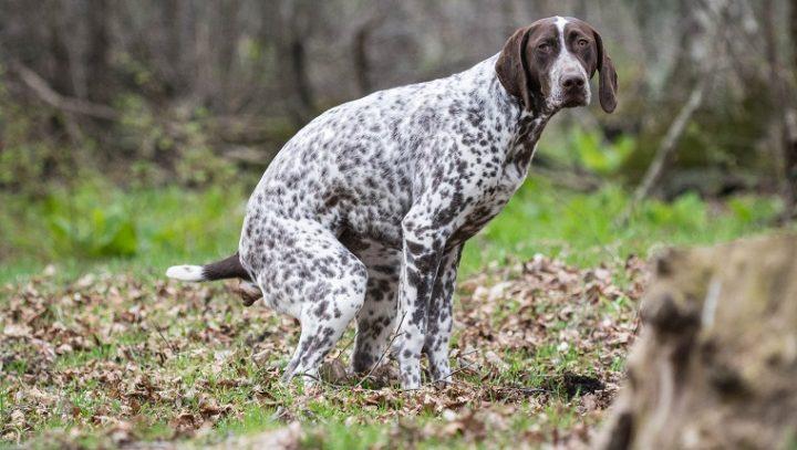 التهاب القولون في الكلاب