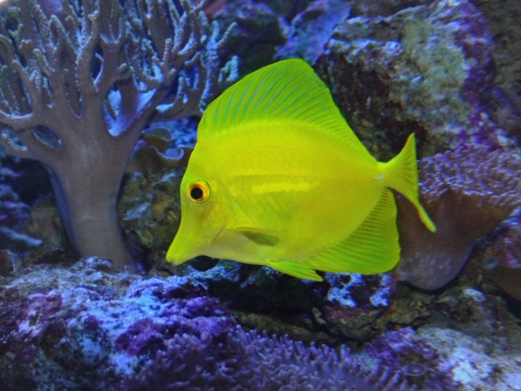 سمكة التانج الصفراء