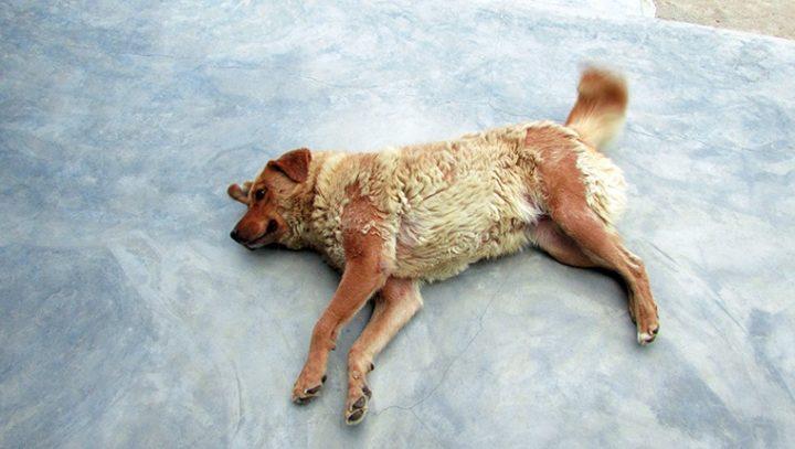 تساقط الشعر في الكلاب