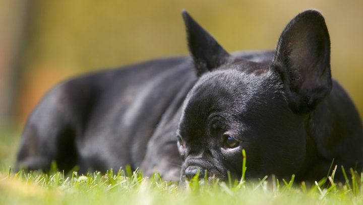 الكلاب قصيرة الوجه
