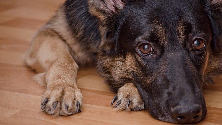 خلل التنسج الكوع في الكلاب