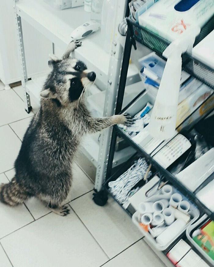 حيوان الراكون مساعد لطبيب بيطري