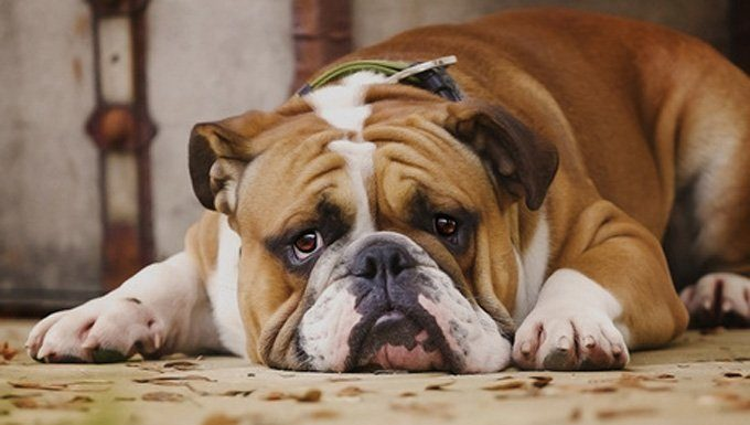 كلبك يعاني من الألم