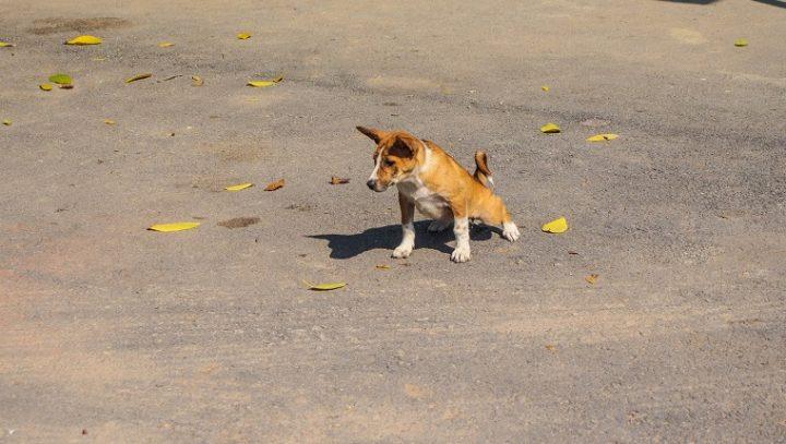 التهاب الكلى في الكلاب