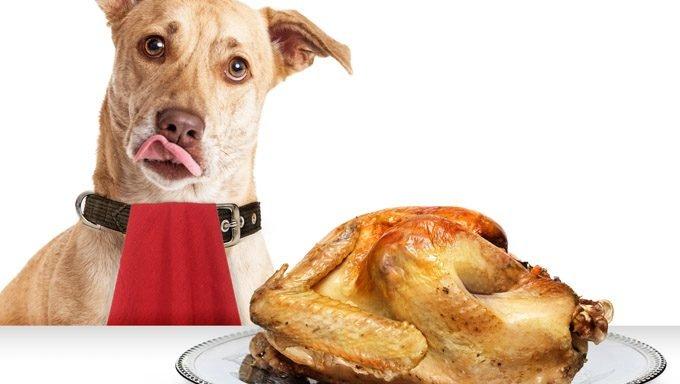 الكلاب تأكل الديك الرومي