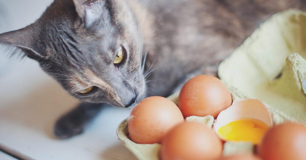 القطط أكل البيض