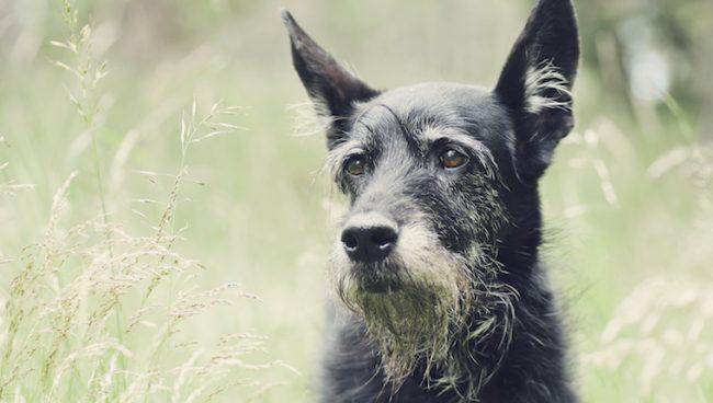 فقدان السمع عند الكلاب