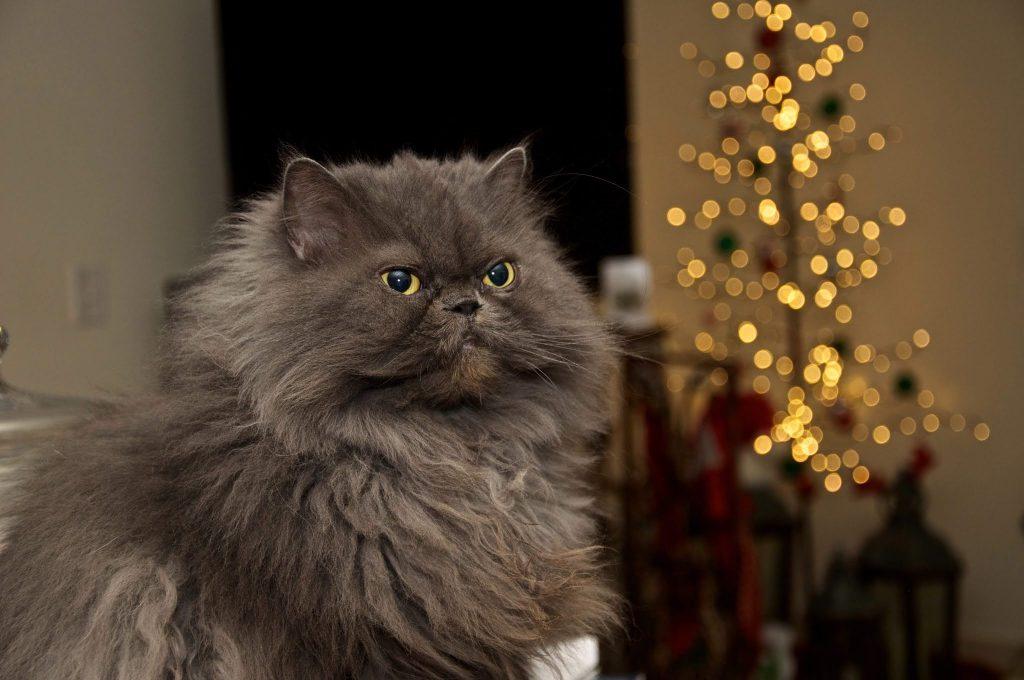القطط الفارسية