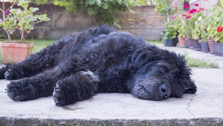 آزوتيميا في الكلاب