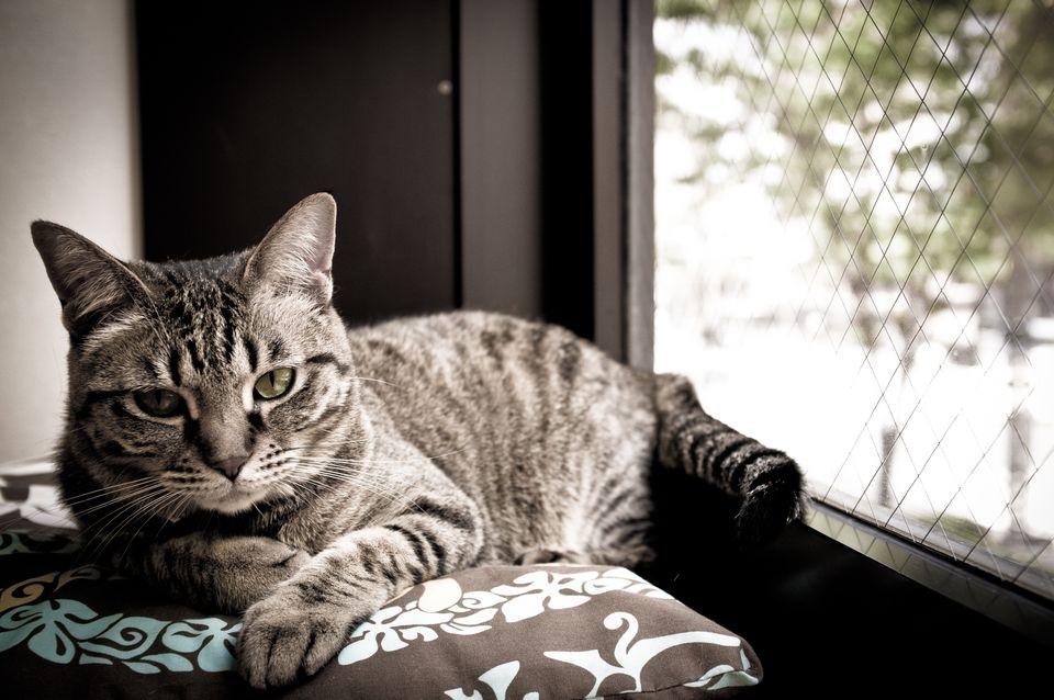 التهاب المفاصل في القطط