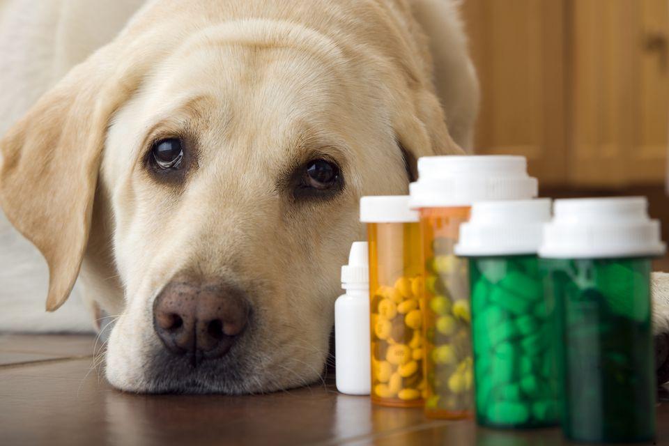 الآثار الجانبية للمضادات الحيوية في الكلاب