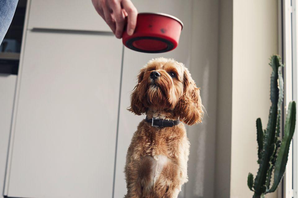 الحساسية الغذائية عند الكلاب