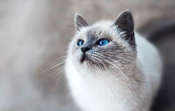 ارتفاع ضغط الدم عند القطط