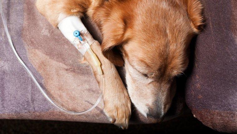 الحماض الكيتوني السكري في الكلاب