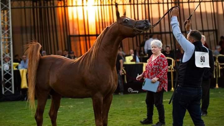 مهرجان تراث الخيول العربية الأصيلة